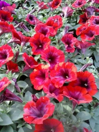 Petunie e surfinie fiori a volont for Petunie perenni