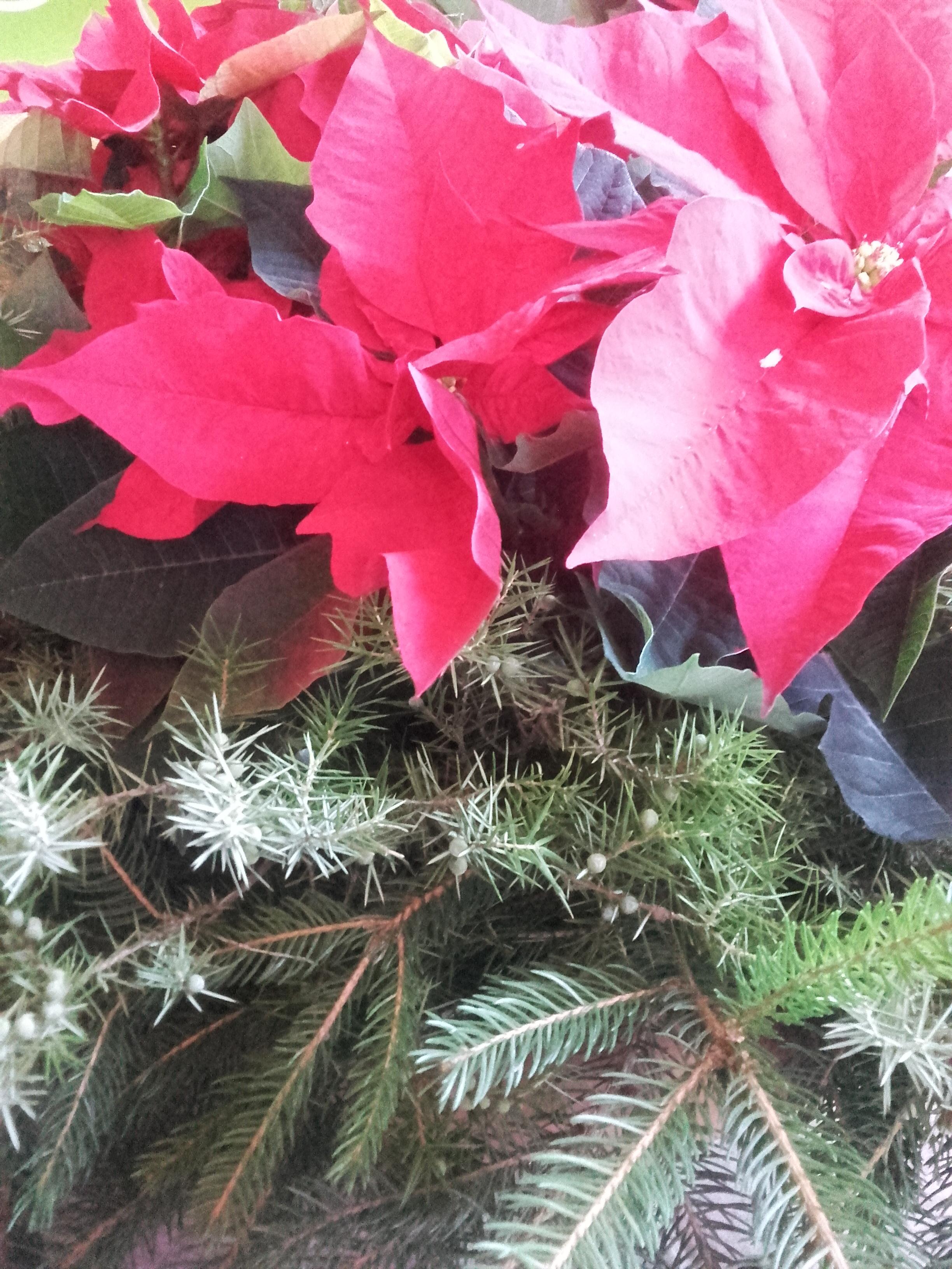 Come Curare La Stella Di Natale In Vaso.Pianta Stella Di Natale Come Curarla Trendy Come Curare Le Stelle